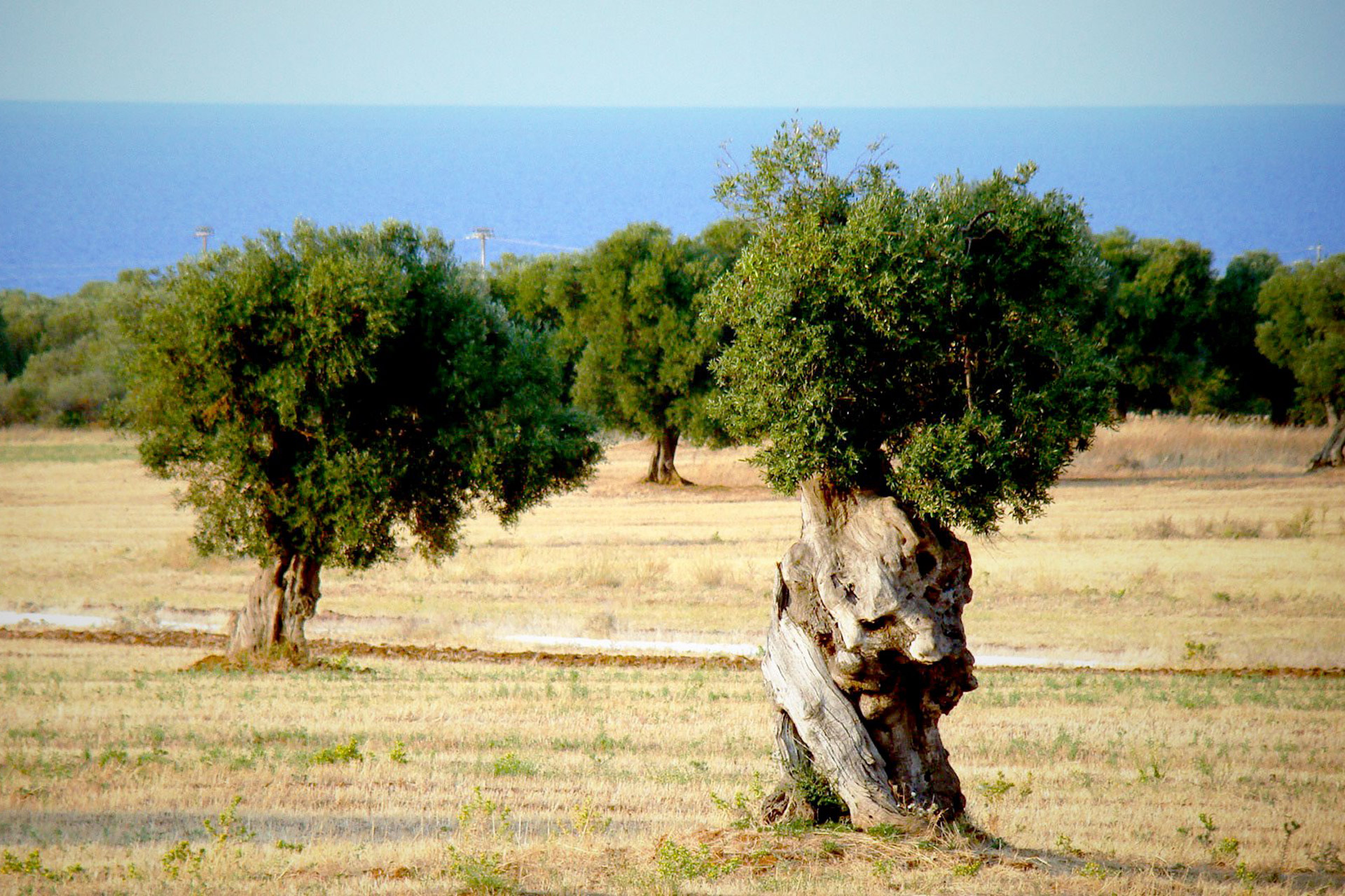 apulia-slow-travel-puglia olive tree-ulivi secolari-jahrhundertalte oliven baeume-seele einer region-century old olive tree