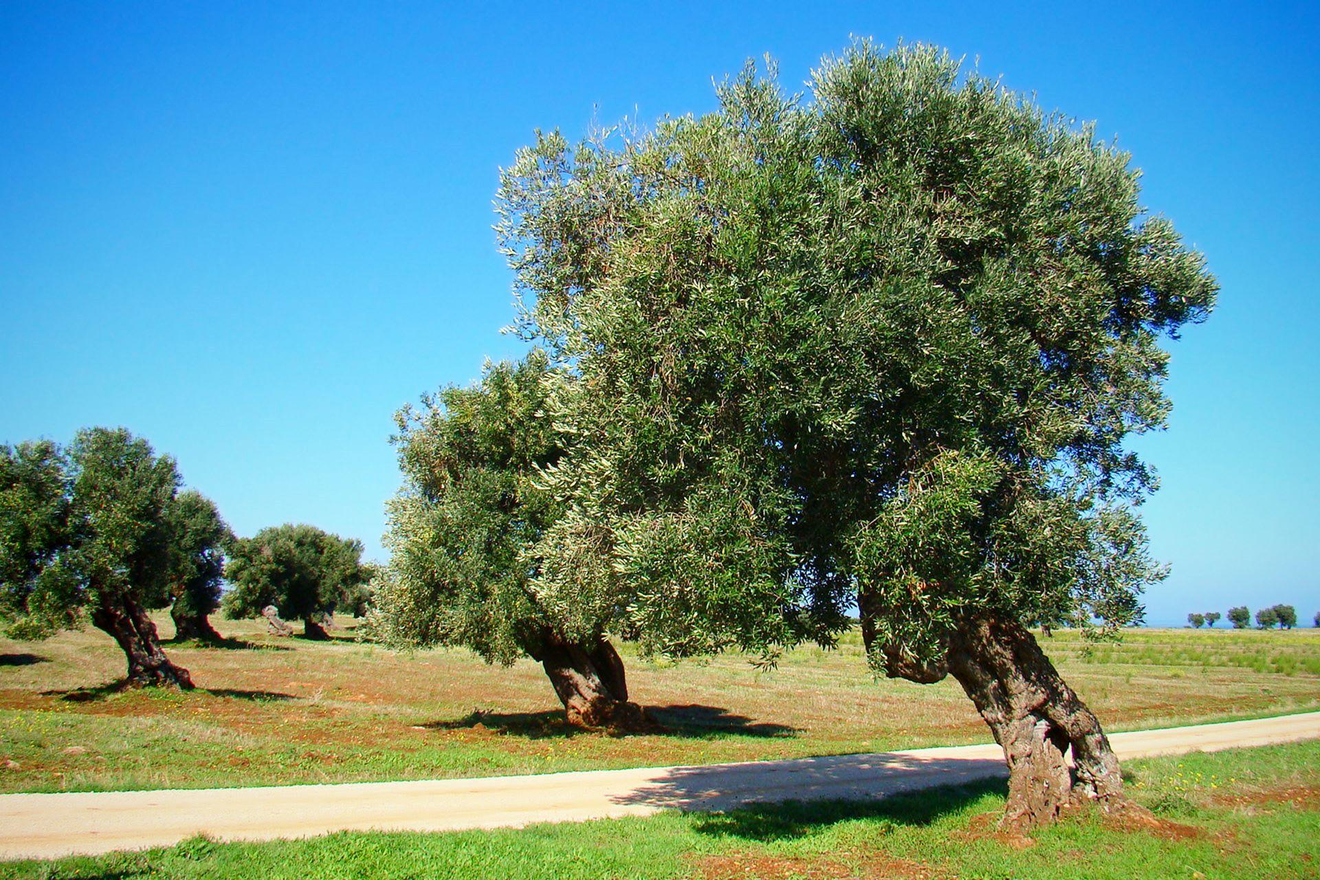 apulia-slow-travel-ulivo-olive tree-olivenbaum-puglia-apulien