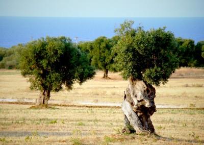 Apulia olive tree