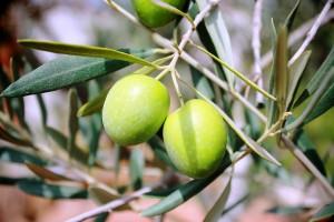 apulia slow travel cisternino and olive oil tasting olio degustazione verkostung oliven oel puglia apulien