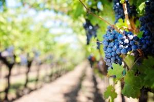 apulia slow travel oria and manduria on the path of primitivo wine vino wein apulien vigneto vineyard weinberg